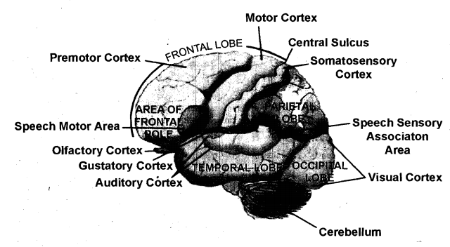 Define the olfactory area of the cerebrum, Science