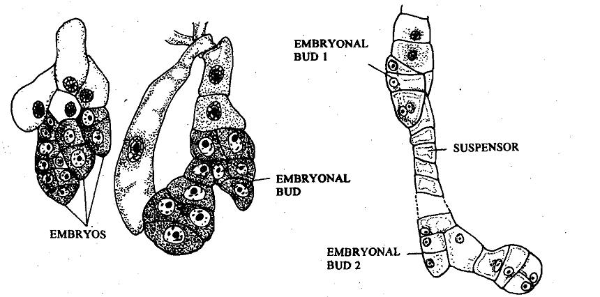 Polyembryony