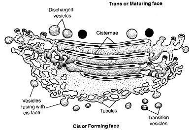 Diagram Of A Golgi Apparatus, Diagram, Free Engine Image