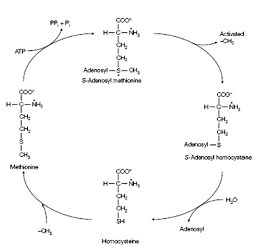 The activated methyl cycle, Biology