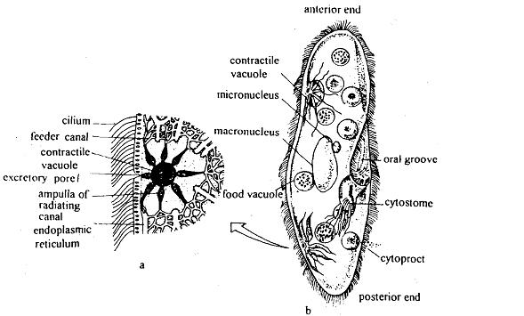 Excretion in protozoans, Excretion in Protozoans Excretion