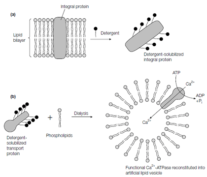 Membrane protein purification and reconstitution, Biology