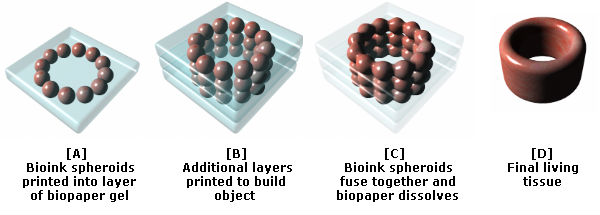 bioprinting stages