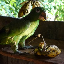 The gender-indeterminate parrot.