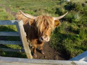 A beautiful--yet very inconveniently placed--highland coo.