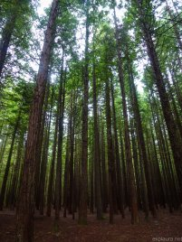 Young redwoods.