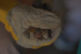 Saisie d'un individue Murin de Maghreb trouvé dans le tunnel pour la prise de mesure