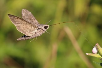 1280px-Convolvulus_hawk-moth_(Agrius_convolvuli)_2