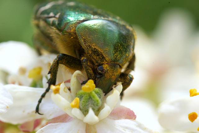 cetoine-pollen-fleur-pollinisation