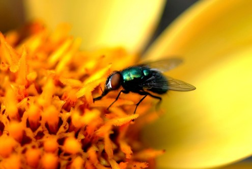 Close-up of a housefly (Musca domestica) pollinating a flower