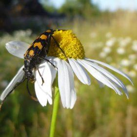 Longhorn Beetle - Aland Islands