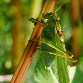Great Green Bush Cricket - Stinderbachtal, Germany