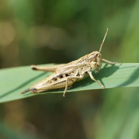 Gold Grasshopper - Stinderbachtal, Germany
