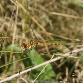 Common Darter dragonfly - Crackley Wood, UK