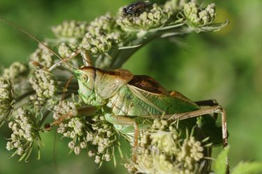 Green cricket on a white flower
