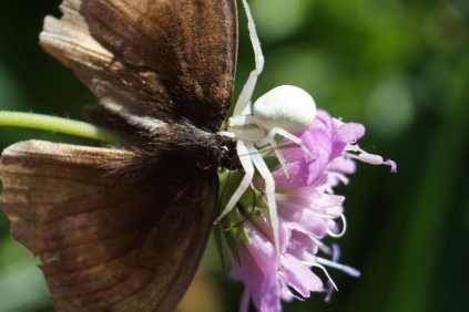 White Crab Spider on a pink flower biting into a brown moth.