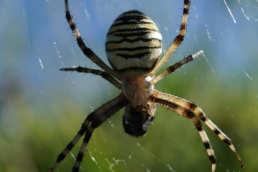 Wasp Spider in a web, holding a black fly wrapped in web.