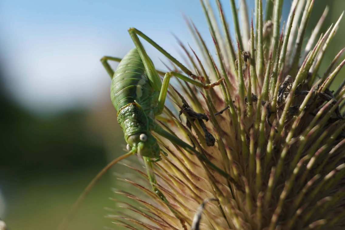 Green bush cricket on a spiky thistle seed pod