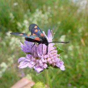 Transalpina Moth - Alps, France