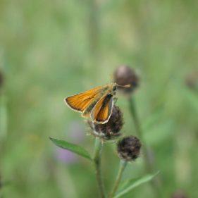 Small Skipper - Hampton Wood and Meadow, UK
