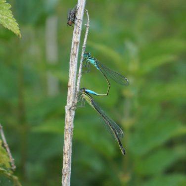 Blue-tailed damseflies (mating) - Hampton Wood and Meadow, UK
