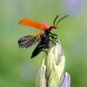 Soldier Beetle in flight