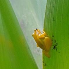 Golden Frog 5