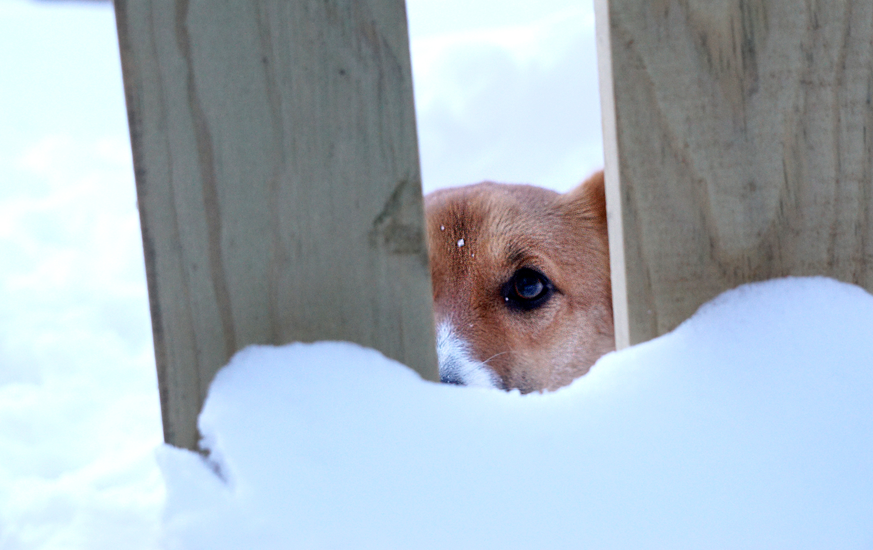 Lolli, the neighbor's corgi, peeking through the fence.