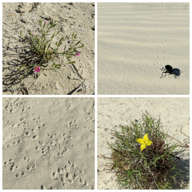 white sands national monument animals
