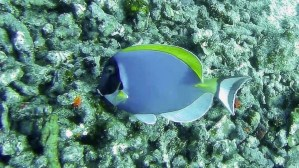 Powder Blue Tang Surgeon fish (Acanthurus leucosternon) Thailand