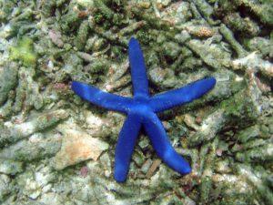 Blue Sea Star (Linckia laevigata) on the sea bed in Guam.