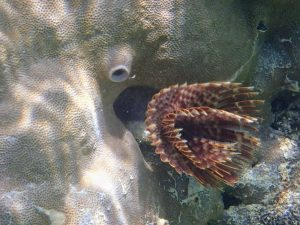 Sabellidae Feather Duster Worm in Guam