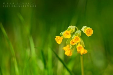 Frühlingsschlüsselblume-0509