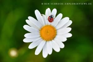 Marienkäfer auf einer Margerite
