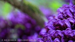 Blume Lathraea clandestina 8954