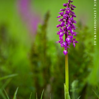 Knabenkraut wilde Orchidee