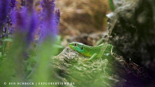 Smaragd Eidechse im Garten