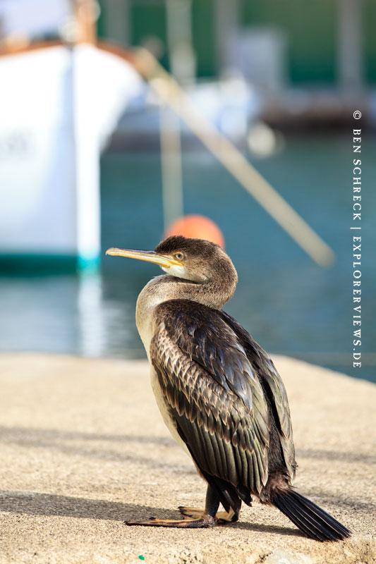 Cala Figuera Hafen Vogel