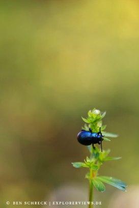 Käfer im Detail