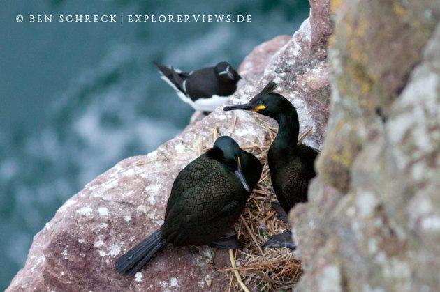 Krähenscharben im Nest