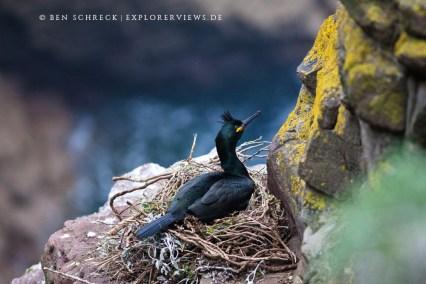 Krähenscharbe im Nest