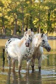 Pferde im Sommer im See