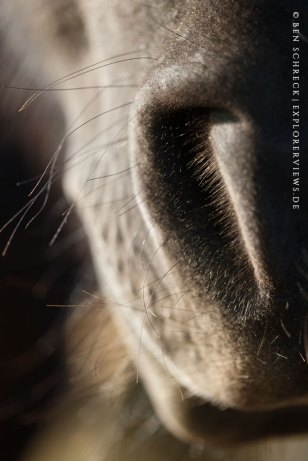 Pferdeschnauze