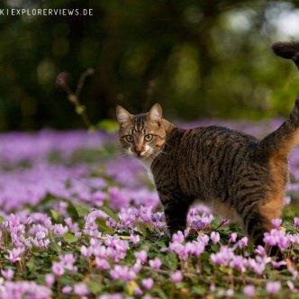 getigerte Katze im Blumenbeet