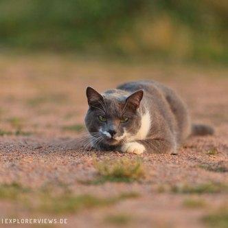 graue Katze in der Abendsonne