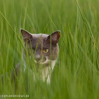 graue Katze in der Wiese