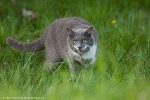 Katze Fauchend im Gras