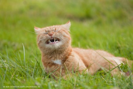 lustige-Katze auf der Wiese