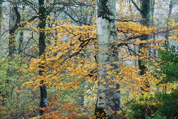 Alte Buche im Herbst 9640