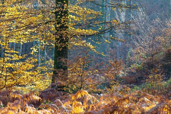 Buche im Herbstwald 9704